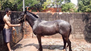 Equídeo Equino Crioulo Registrado Cavalo Preta Trabalho - e-rural Imagens