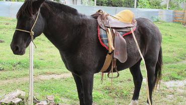 Equídeo Equino Crioulo Não Registrado Cavalo Castanha Marcha de Centro - e-rural Imagens