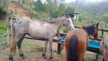 Equídeo Equino Mangalarga Registrado Potro Tordilha - e-rural Imagens