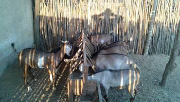 Caprino Dupla Aptidão Angulo Nubiana Cabrito 21-25kg - e-rural Imagens