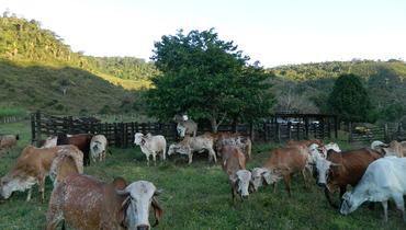 Bovino Leite Gir Vaca 16-20l - e-rural Imagens