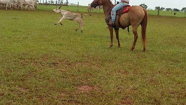 Equídeo Equino Paint Horse Não Registrado Égua Baia Trabalho - e-rural Imagens