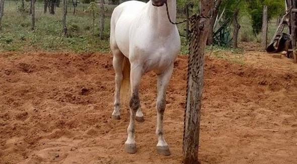 Equídeo Equino Mangalarga Marchador Não Registrado Cavalo Baia Marcha Picada - e-rural Imagens