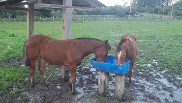 Equídeo Equino Crioulo Registrado Potro Castanha Trabalho - e-rural Imagens