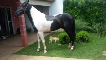 Equídeo Equino Mangalarga Registrado Cavalo Pampa Marcha Picada - e-rural Imagens