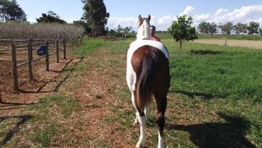 Equídeo Equino Mangalarga Marchador Registrado Cavalo Pampa Marcha Picada - e-rural Imagens
