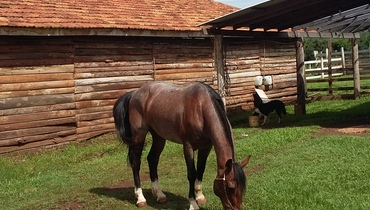 Equídeo Equino Crioulo Não Registrado Cavalo Rosilha Trabalho - e-rural Imagens