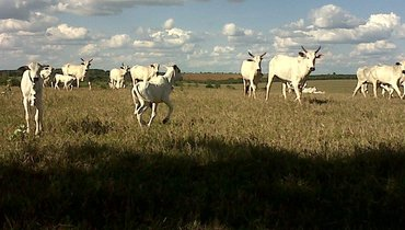 Bovino Corte Nelore Bezerro 6-10@ - e-rural Imagens