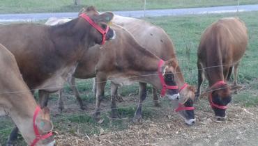 Bovino - e-rural Imagens