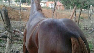 Equídeo Equino Paint Horse Não Registrado Cavalo Pampa Trabalho - e-rural Imagens