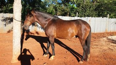 Equídeo Equino Campolina Não Registrado Cavalo Castanha Marcha Picada - e-rural Imagens