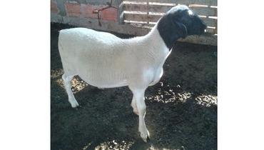 Ovino Corte Dorper Borrego 25+kg - e-rural Imagens