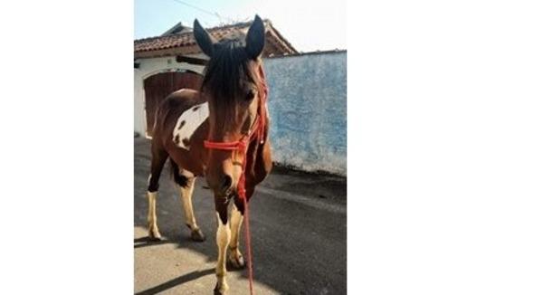 Equídeo Equino Mangalarga Não Registrado Cavalo Pampa Marcha Batida - e-rural Imagens