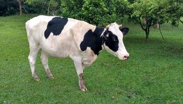 Bovino Leite Holandês Vaca 11-15l - e-rural Imagens
