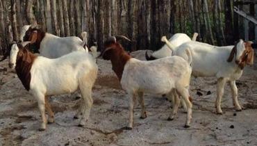 Caprino Corte Boer Bode 51-65kg - e-rural Imagens