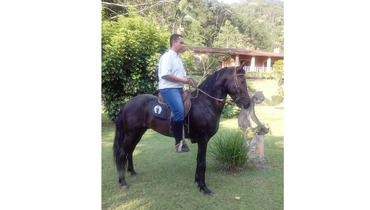 Equídeo Equino Mangalarga Marchador Registrado Garanhão Castanha Marcha Batida - e-rural Imagens