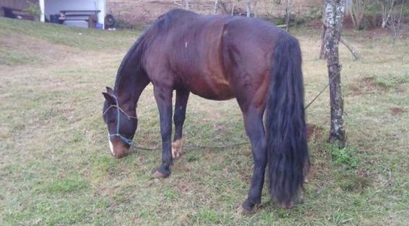 Equídeo Equino Crioulo Não Registrado Cavalo Castanha Trabalho - e-rural Imagens