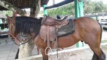 Equídeo Equino Mangalarga Marchador Registrado Cavalo Castanha Marcha Picada - e-rural Imagens