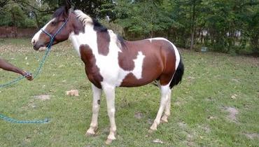 Equídeo Equino Pampa Não Registrado Cavalo Pampa Marcha Picada - e-rural Imagens