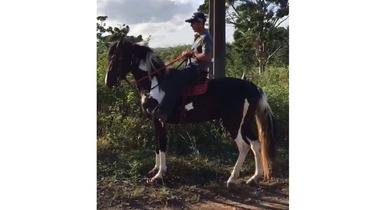 Equídeo Equino Mangalarga Registrado Cavalo Pampa Marcha Batida - e-rural Imagens
