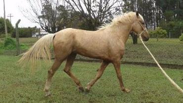 Equídeo Equino Mangalarga Não Registrado Cavalo Baia - e-rural Imagens