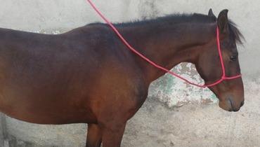 Equídeo Equino Mangalarga Não Registrado Potro Castanha Marcha Picada - e-rural Imagens