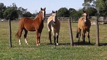 Equídeo Equino Crioulo Não Registrado Cavalo Baia Trabalho - e-rural Imagens