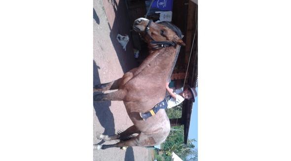 Equídeo Equino Crioulo Comunicado Cavalo Rosilha Trabalho - e-rural Imagens