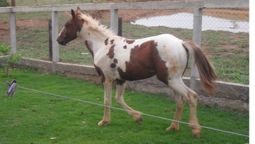 Equídeo Equino Paint Horse Registrado Potra Pampa Corrida - e-rural Imagens
