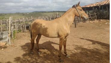 Equídeo Equino Campolina Não Registrado Cavalo Baia Marcha Picada - e-rural Imagens
