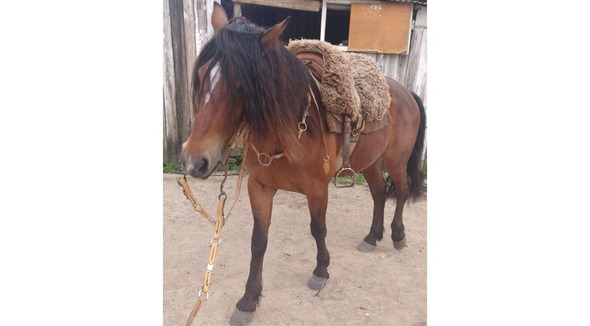 Equídeo Equino Crioulo Registrado Cavalo Alazã Corrida - e-rural Imagens