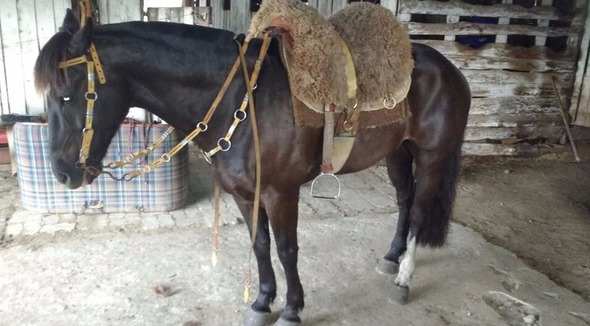 Equídeo Equino Crioulo Registrado Cavalo Castanha Trabalho - e-rural Imagens