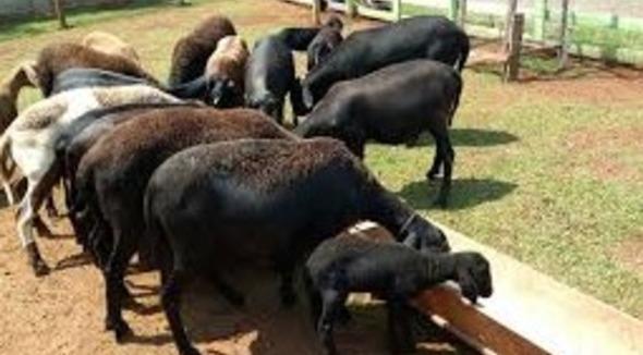 Ovino Corte Santa Inês Ovelha 35-50kg - e-rural Imagens