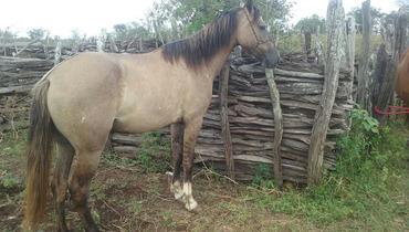 Equídeo Equino Mangalarga Não Registrado Potra Baia - e-rural Imagens