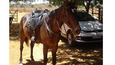 Equídeo Equino Mangalarga Marchador Não Registrado Égua Castanha Marcha Picada - e-rural Imagens