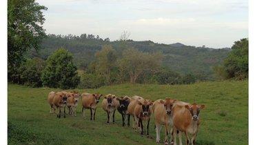 Bovino Leite Jersey Novilha - e-rural Imagens