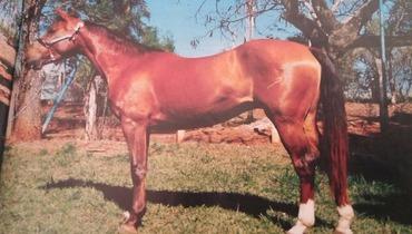Equídeo Equino Paint Horse Registrado Égua Alazã Trabalho - e-rural Imagens