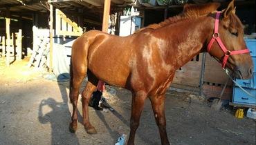 Equídeo Equino Diversos Não Registrado Cavalo Alazã - e-rural Imagens