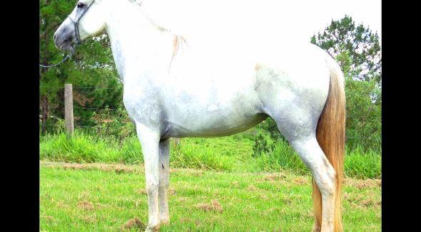 Equídeo Equino Mangalarga Marchador Registrado Égua - e-rural Imagens