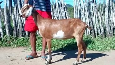 Caprino Dupla Aptidão Anglonubiana Cabra - e-rural Imagens