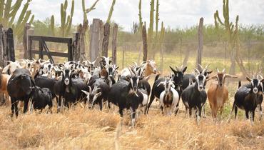 Caprino - e-rural Imagens