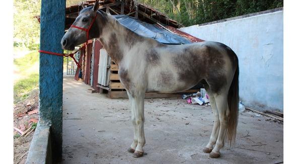 Equídeo Equino Mangalarga Não Registrado Garanhão Pampa Marcha Picada - e-rural Imagens