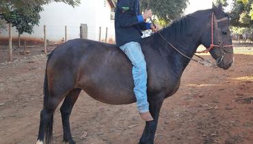 Equídeo Equino Quarto de Milha Não Registrado Égua Zaina - e-rural Imagens
