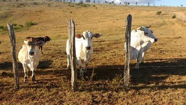 Bovino Dupla Aptidão - e-rural Imagens