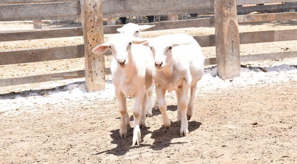 Ovino Corte White Dorper Borrego - e-rural Imagens