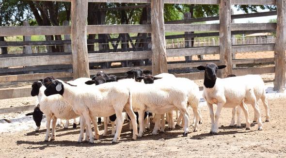 Ovino Corte Dorper Borrega - e-rural Imagens