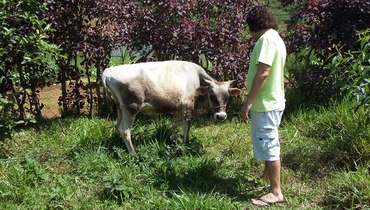 Bovino Dupla Aptidão Simental Tourinho - e-rural Imagens