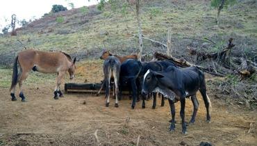 Bovino Corte Mestiço Novilha 11-15@ - e-rural Imagens