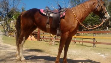 Equídeo Equino Quarto de Milha Registrado Cavalo Castanha - e-rural Imagens
