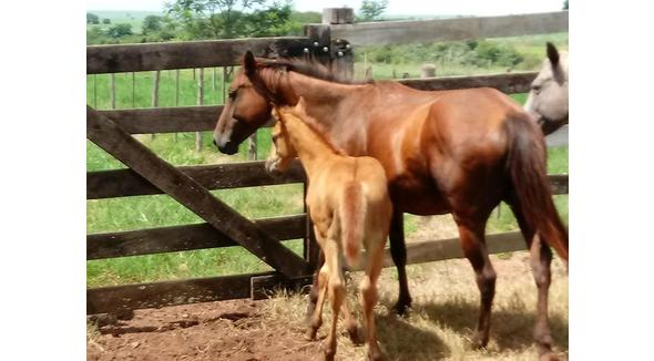 Equídeo Equino Paint Horse Registrado Égua - e-rural Imagens